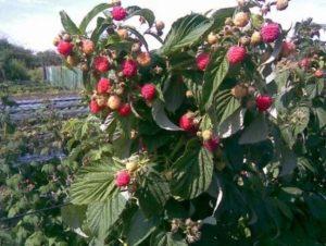 Малиновое дерево размножение видео