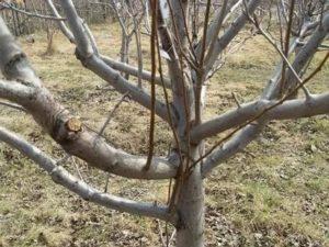 Обрезка волчков на яблоне