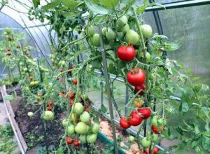 Как получить урожай помидор в теплице
