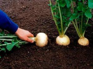 Выращивание репы