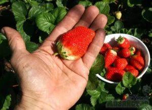 Как получить хороший урожай клубники