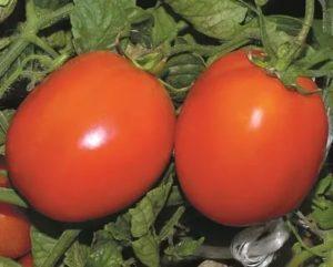 Сорта помидоров для открытого грунта форум