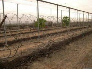 Инжир выращивание в теплице