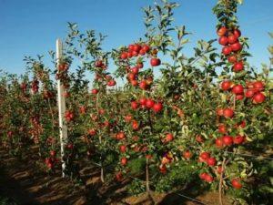 Какие сорта яблонь лучше сажать