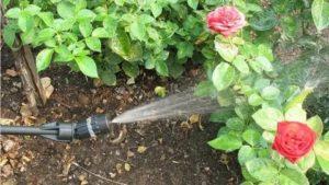 Опрыскивание медным купоросом розы