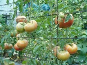 Способы подвязки помидоров