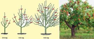 Как формировать крону яблони