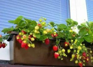Ягоды на балконе