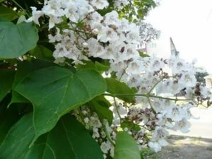 Катальпа дерево размножение