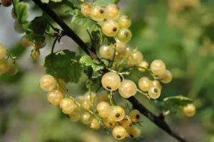 Полезные свойства желтой смородины