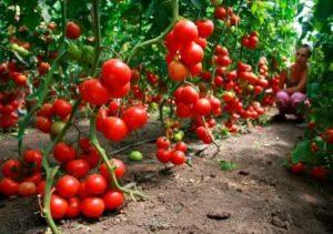 Где выращивают томаты
