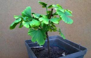 Гинкго билоба выращивание