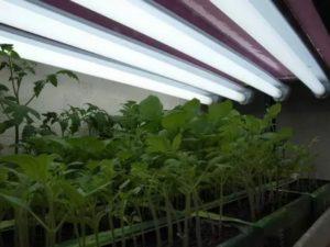Освещение рассады томатов