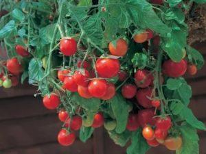 Сорта помидоров для выращивания на балконе