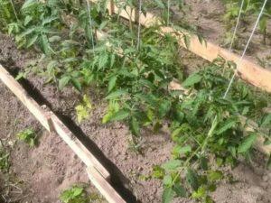 Как подвязать помидоры в открытом грунте видео