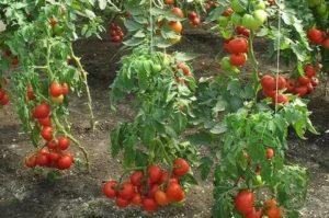 Помидоры грунтовые выращивание