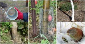Как защищают яблони от грызунов