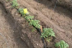 Выращивание томатов безрассадный способ