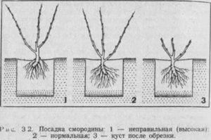 Как сажать чёрную смородину