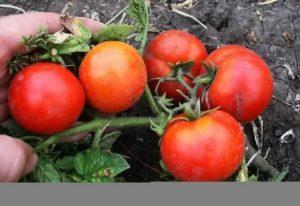 Какие самые ранние помидоры