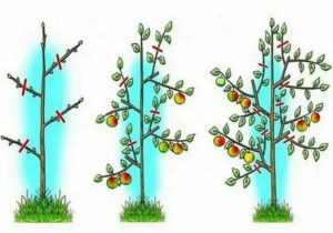 Формируем яблоню