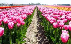 Выращивание тюльпанов в голландии