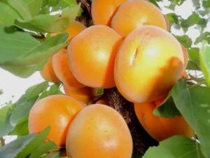 Абрикос десертный описание