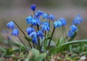 Пролеска цветок