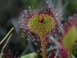 Насекомоядные растения виды