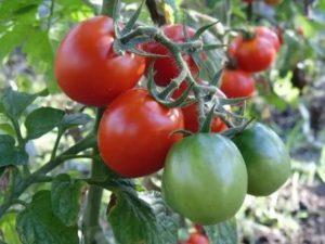 Все о лучших сортах томатов