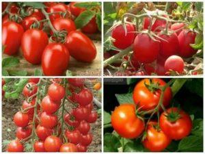 Самые урожайные сорта томатов сибири