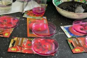Подготовка семян томата к посадке