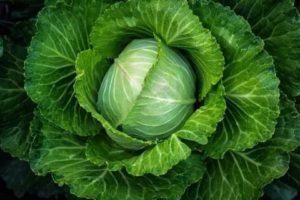 Ранние и средние сорта капусты