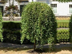 Растения на штамбах