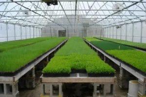 Семена для теплиц зелень