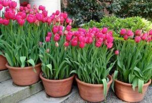 Когда выращивать тюльпаны