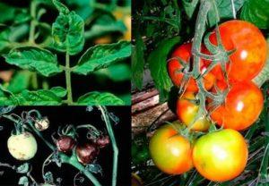 Мозаика томатов и их лечение
