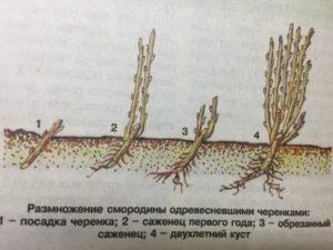Чёрная смородина размножение