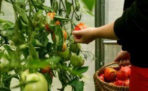 Когда собирать помидоры из теплицы