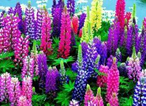 Многолетние цветы уход посадка