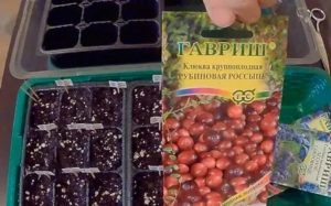 Как вырастить клюкву из семян
