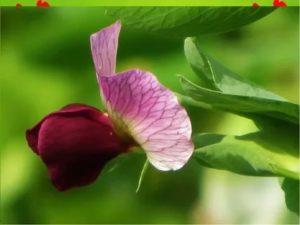 Бобовые цветы