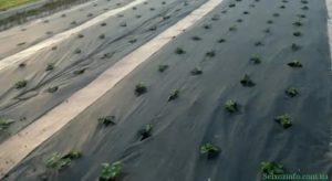 Посадка клубники на агроволокне
