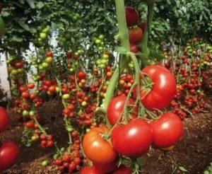 Какой сорт помидор самый урожайный