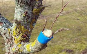 Прививка садовых деревьев