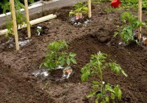 Подкормка томатов в открытом грунте