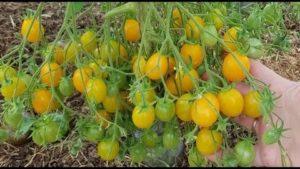 Сорта томатов для ленинградской области для теплиц