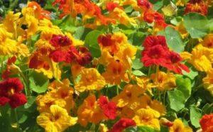 Красивоцветущие однолетние цветы