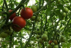 Сорта помидор дерево