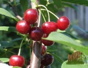 Сорта вишни деревом